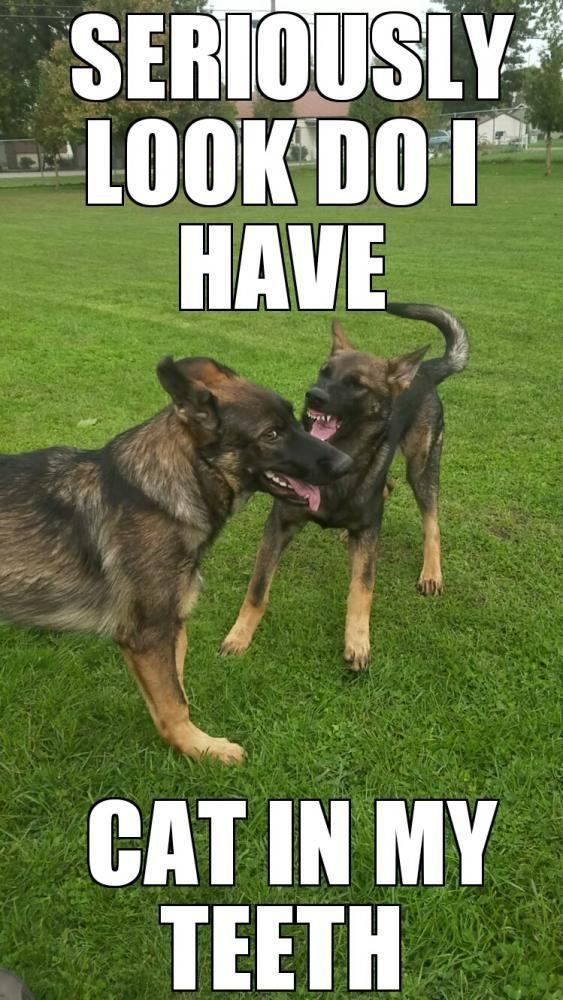 Funny Meme German : Best pets images on pinterest german shepherd