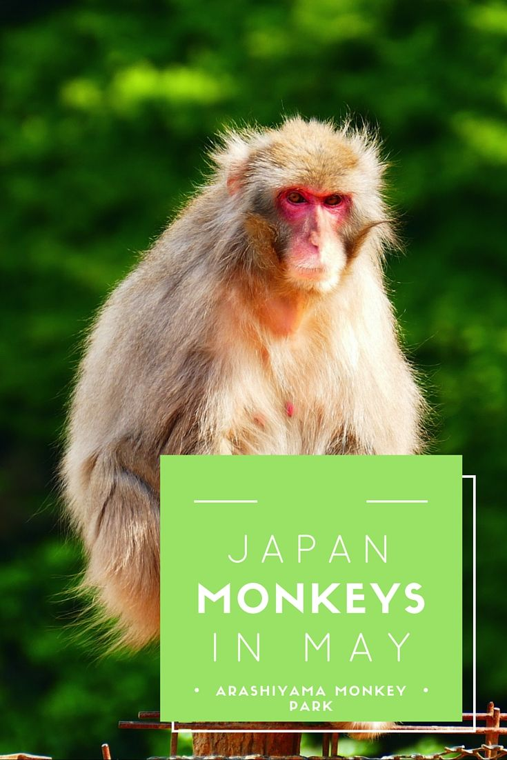 Monkeys in May: where to see the in Japan when they are not soaking in hot springs.