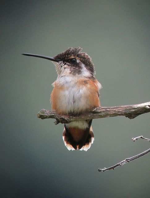 The White-bellied Woodstar (Chaetocercus mulsant) is a species of hummingbird in the Trochilidae family. It is found in Bolivia, Colombia, Ecuador, and Peru