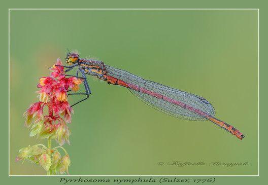 Pyrrhosoma nymphula (Sulzer 1776)