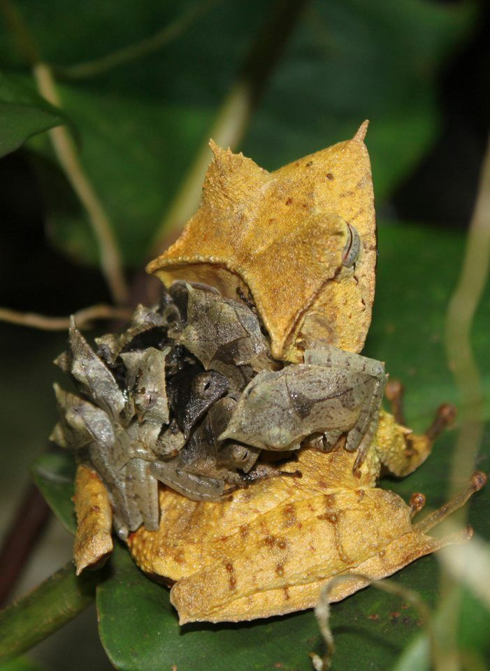 Banded horned tree frog carrying her brood (Hemiphractus fasciatus)