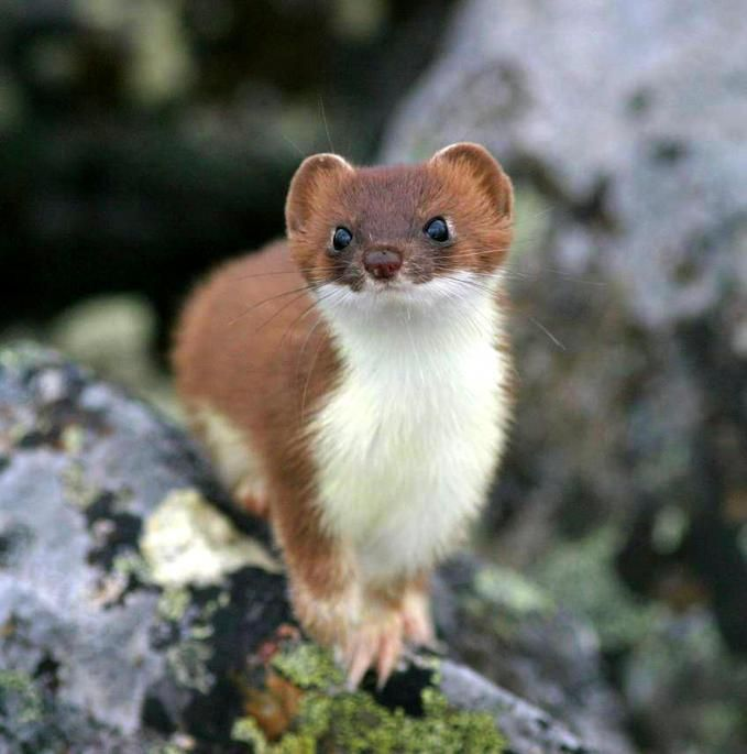 Ermine, also known as a stoat.  The beautiful coloring of this relative of otters, mink and wolverines is the ermine's summer coat.  The ermine's coat changes to a thick warm all white coat in the winter.  The only part of the ermine's coat to not change color is the very tip of its tail, which remains black.