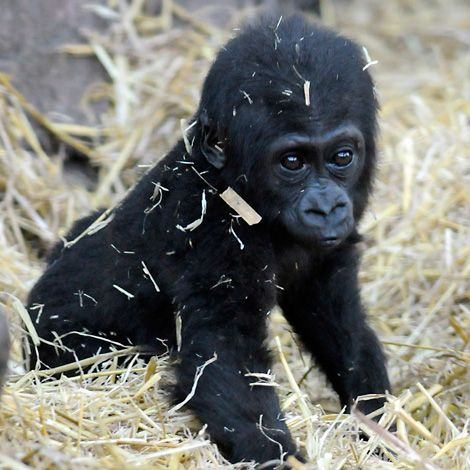 A baby Western Lowland Gorilla at the Chessington Zoo in the UK. (photo from ZooBorns.com)