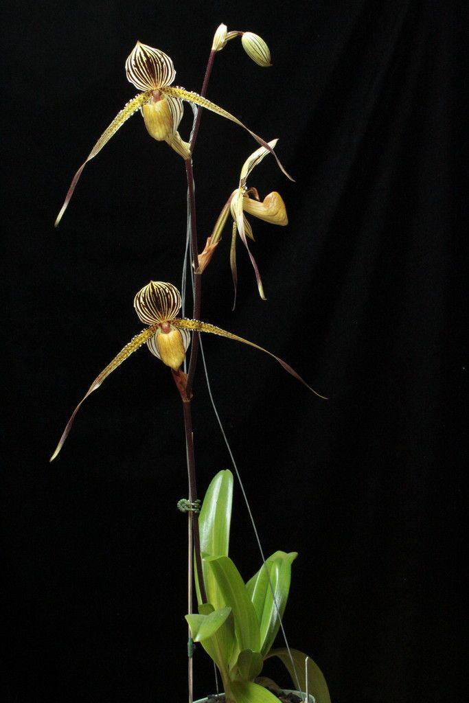Paph St. Swithin 'Tonya' HCC - Slippertalk Orchid Forum- The best slipper orchid forum for paph, phrag and other lady slipper orchid discussion!