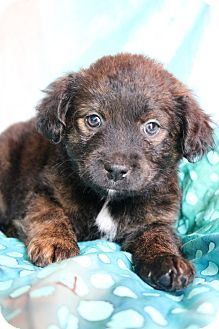 Hagerstown, MD - Labrador Retriever/Havanese Mix. Meet Stella, a puppy for adoption. http://www.adoptapet.com/pet/17482472-hagerstown-maryland-labrador-retriever-mix