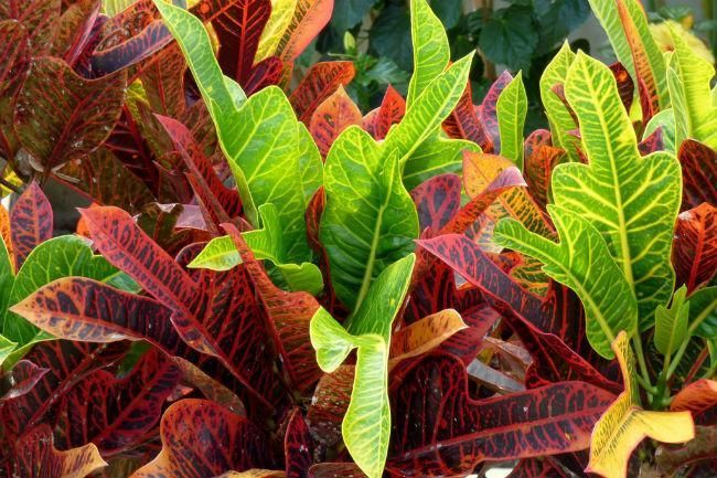 Verdecora Plantas Interior Croto