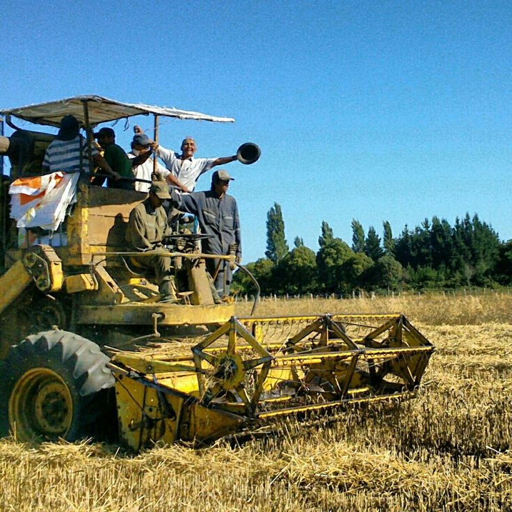 Harvest time in the Mapuche campo #mapuche missionmapuche.org