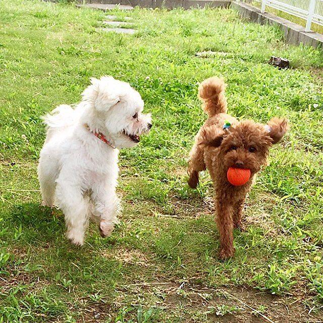 朝から元気だよ 泥んこだけどね😅 ・ ・ #まるぷー#マルプー#ミックス犬#mix犬#マルプー連合#マルプー部#多頭飼い#わんこなしでは生きていけません会#愛犬#ミックス犬同好会#ふわもこ部#ワンコと私の日常#いぬすたぐらむ#トイプードル#仲良し