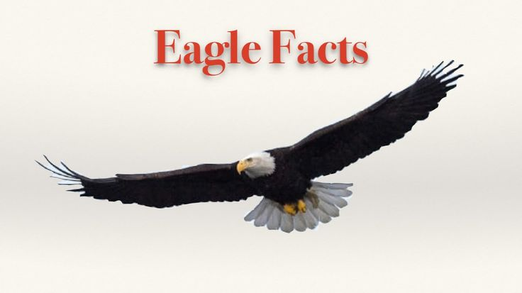 Eagle Facts - YouTube