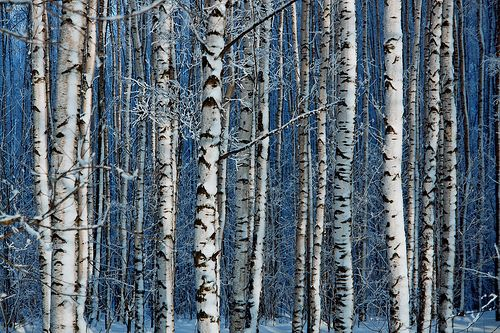 .Lion, Trees Trunks, Birches Trees, Nature Pictures, Tree Trunks, Colorado, Accidents Art, White Birches, White Trees