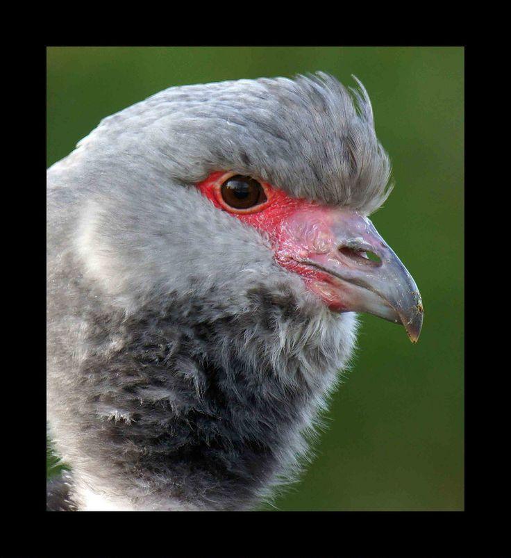 A Created Screamer head -shot (Annette Rumbelow) Tags: camera nature birds shot head sony created wetland slimbridge screamer a a550 annetterumbelow