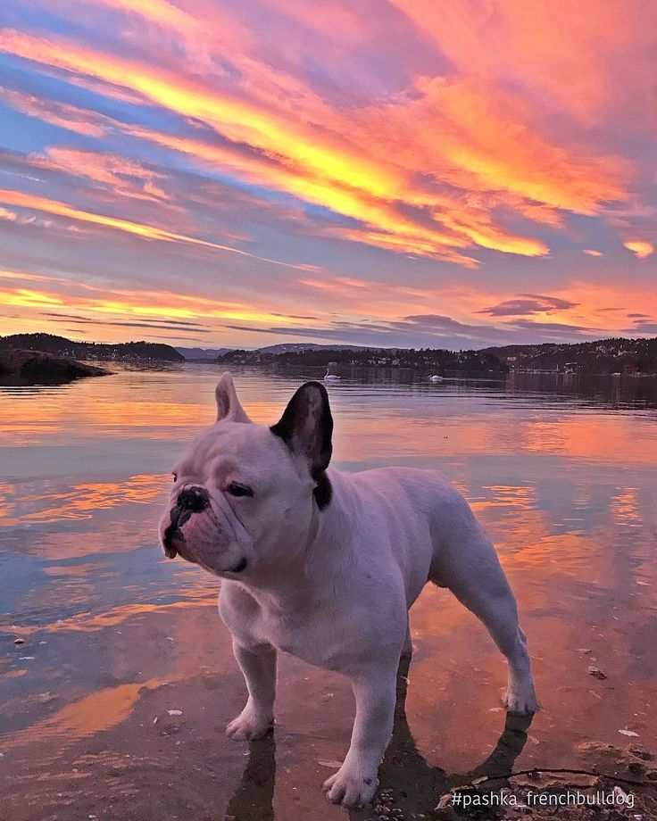 Pashka, French Bulldog on the Beach at Sunset