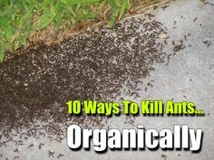 10 Ways To Kill Ants organically ,how to, how to kill ants, shtf, prepping, homesteading, frugal, preparedness, natural, DIY, pest, pests,