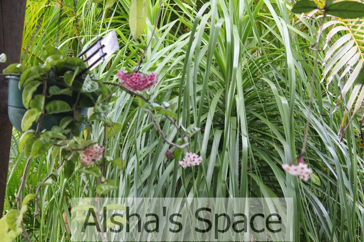 Hoya flowers at Alsha's Space