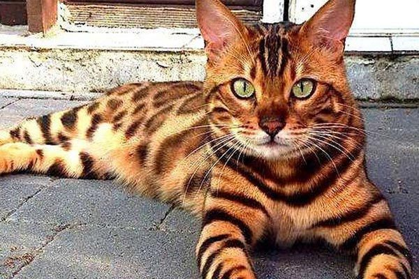 Top 7 Hypoallergenic Cat Breeds For Pet Allergies Traveling With