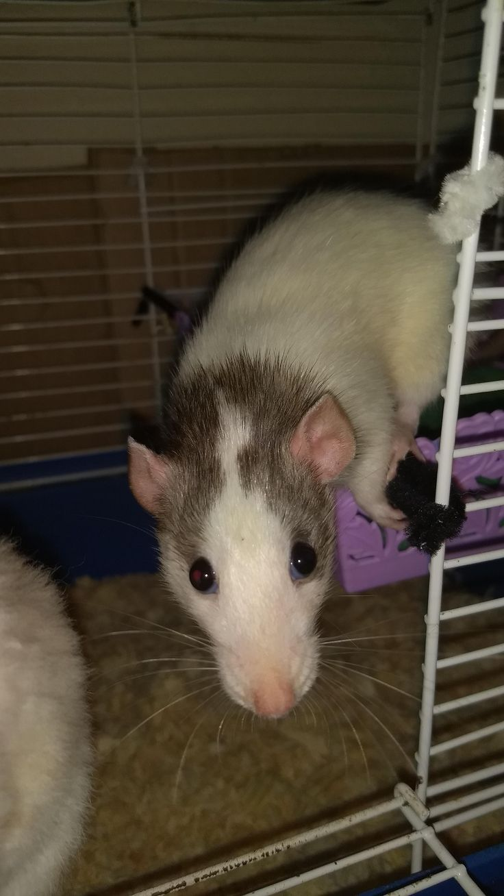 Cuddle chair related keywords amp suggestions cuddle chair long tail - Beemo Is So Lovely Aww Cute Rat Cuterats Ratsofpinterest Cuddle