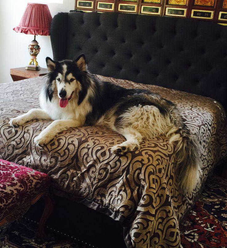 Giant Alaskan Malamute On his California King Size Bed!
