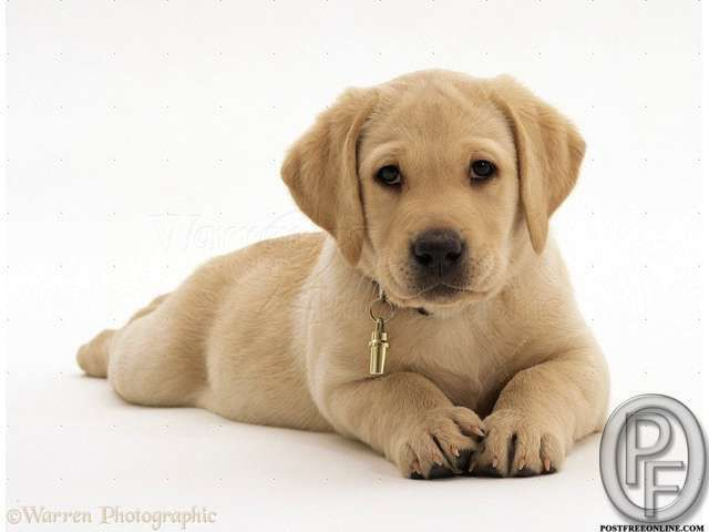 Labrador Puppies Available For You In Mumbai Maharashtra India In Pet Animals And Care Ca Labrador Retriever Puppies Labrador Puppy Yellow Labrador Retriever