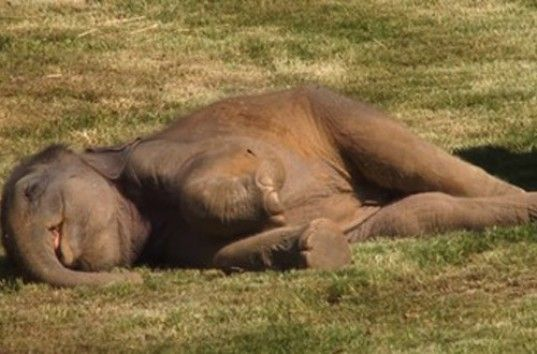 Слоненок-соня из Пражского зоопарка покорил интернет (ВИДЕО)