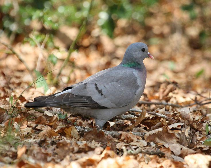 Pigeon colombin - Columba oenas