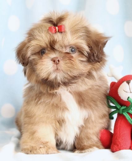 Adorable Shih Tzu Puppy
