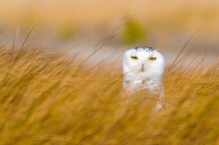 Snowy Owl by Michael Snow