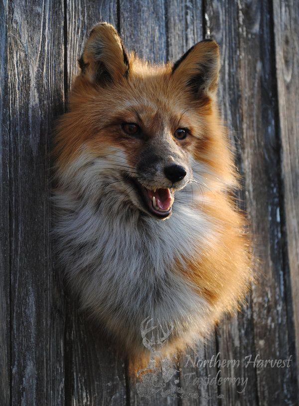 ak_red_fox_shoulder_mount_2_by_lilmissdoeeyes-d49n3gn.jpg 600×813 pixels