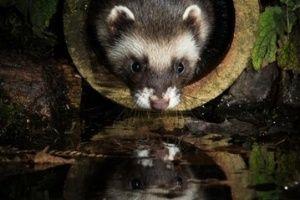 2.nov.2015 - O fotógrafo americano Joel Sartore é o fundador do projeto Photo Ark, da National Geographic. A ideia é retratar animais ameaçados antes que eles desapareçam. Um dos exemplos é este tigre-de-bengala, clicado no zoológico americano Alabama Gulf Coast Zoo