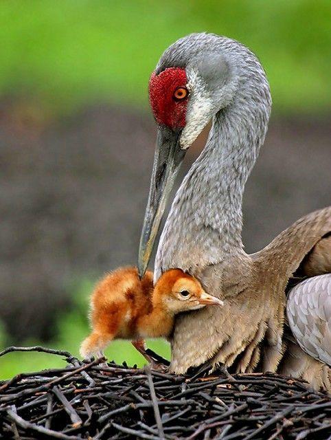 Sandhill Crane & chickParents, Mothers, Nature, Beautiful Birds, Baby, Chicks, Sandhill Cranes, Animal, Feathers Friends