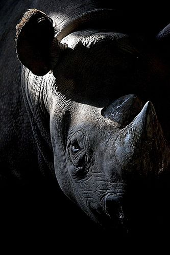 Black Rhino ~ extremely rare and becoming extinct, they are hunted and their horns removed while they are still alive ~ barbaric ~ please raise awareness for this magestic animal.