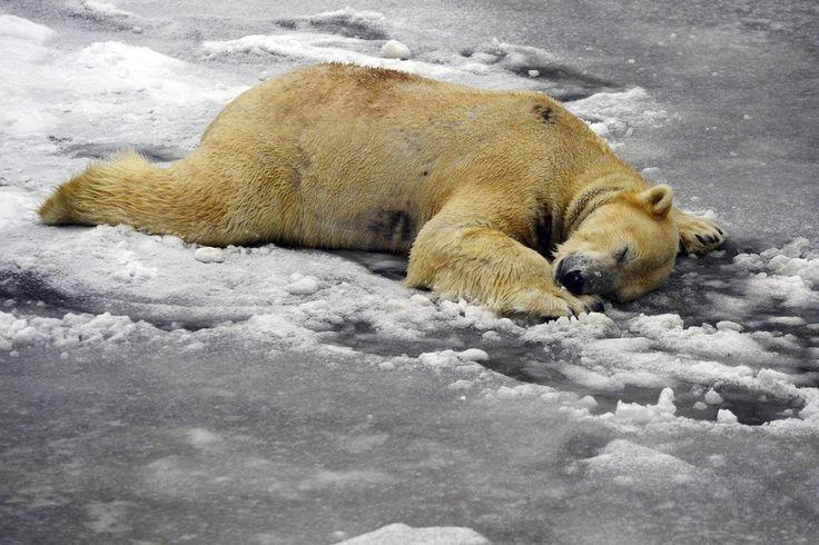 Un oso polar se echa la siesta en su recinto del zoológico Tierpark en Berlín, Alemania (Maurizio Gambarini, 2017)