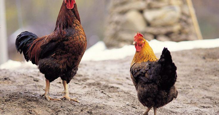 Razas de gallos y gallinas. Los pollos datan del 7000 a.C. en Asia, donde fueron domesticados hacía el 4000 a.C. Los humanos han utilizado a los gallos y gallinas como fuente de alimento desde 3000 a.C. y se han encontrado restos de pollos en tumbas egipcias. Existen muchas razas de gallos y gallinas. En algunas razas, los machos y hembras comparten los mismos diseños ...