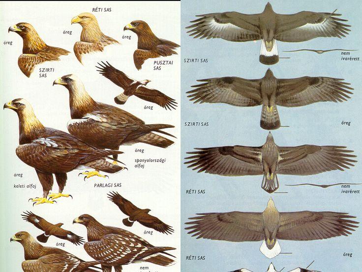 """Képtalálat a következőre: """"ragadozó madarak magyarországon"""""""