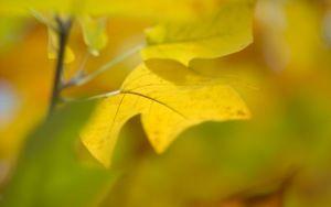 ои лист, осень, желтый, фон