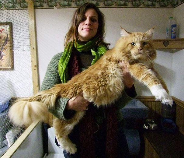 gatos obesos