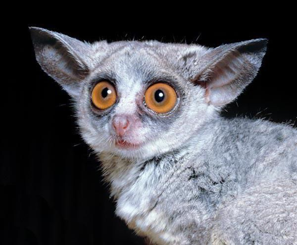 ما هو اسم الحيوان ذو العيون الكبيرة حيوان لطيف مع عيون كبيرة صورة الحيوانات 2020 Animals Images Cute Animals Slow Loris