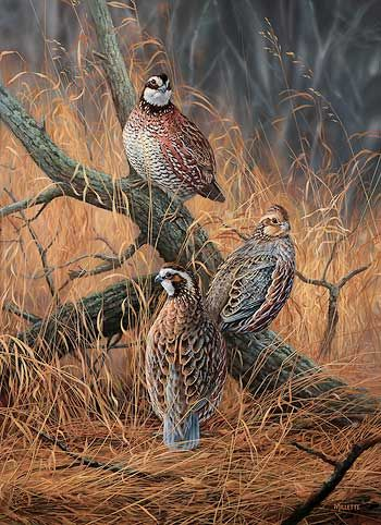 Late Season Solitude-Bobwhite Quail by R. Millette  |  Wild Wings