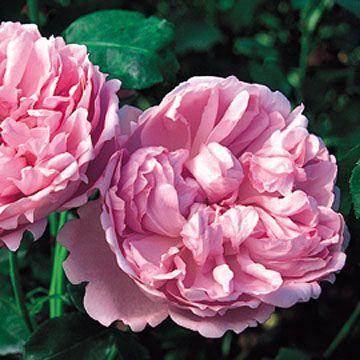 37 best images about rose garden on pinterest gardens. Black Bedroom Furniture Sets. Home Design Ideas