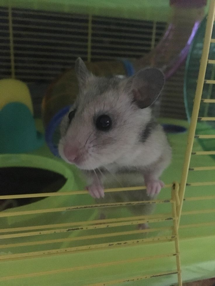 We are hamster sitting... Meet Lilian aka Lilibean! #aww #Cutehamsters #hamster #hamstersofpinterest #boopthesnoot #cuddle #fluffy #animals #aww #socute #derp #cute #bestfriend #itssofluffy #rodents