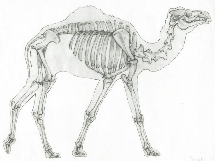 124 Best Animal Skeleton Images On Pinterest Animal Anatomy