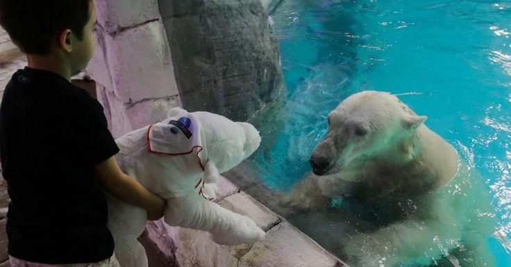 """Urso polar """"encara"""" bicho de pelúcia de criança no Aquário de São Paulo, na manhã deste sábado (18); casal de ursos polares Aurora e Peregrino foram trazido de um zoológico da Rússia e são uma das atrações do aquário paulistano"""