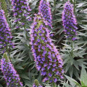 Echium Plant