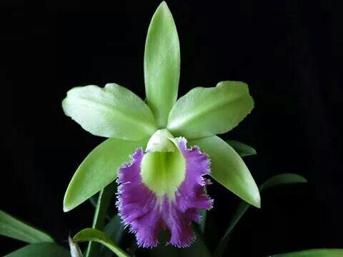 Cattleya orquídea