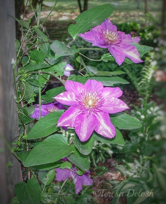 #Purple #Clematis in Front #Flower Bed #Photograph