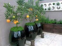 Árvores frutíferas em vasos decorativos - Pesquisa Google