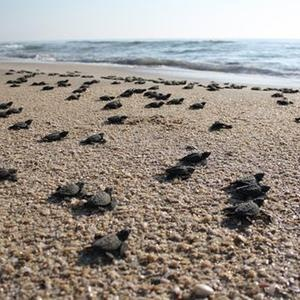 Turtle hatchlings head for the sea