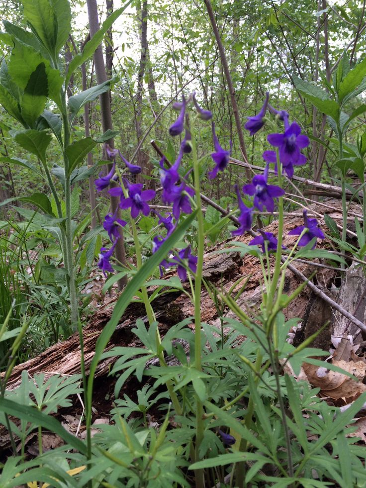 21 best native missouri plants images on pinterest