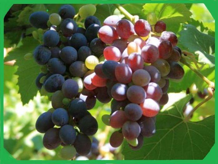 Масло виноградной косточки – волшебный гормон