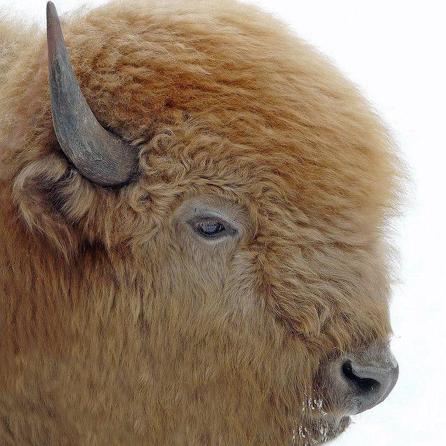 idylwild:  White Buffalo