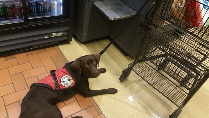 Adrian Being Perfect In Wegmans Service Dogs Service Dog